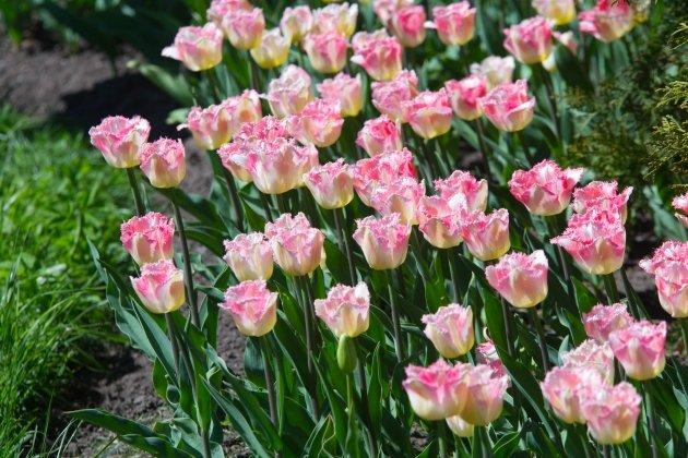 IV Фестиваль тюльпанов на Елагином острове