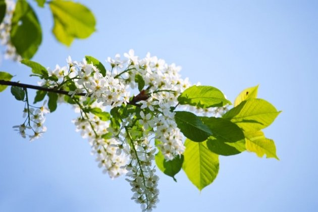 Когда цветет черемуха в Петербурге