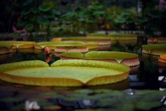 Самая большая кувшинка в мире активно цветет в Ботаническом саду